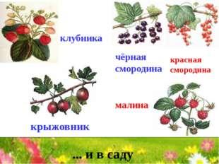 чёрная смородина красная смородина малина крыжовник клубника ... и в саду