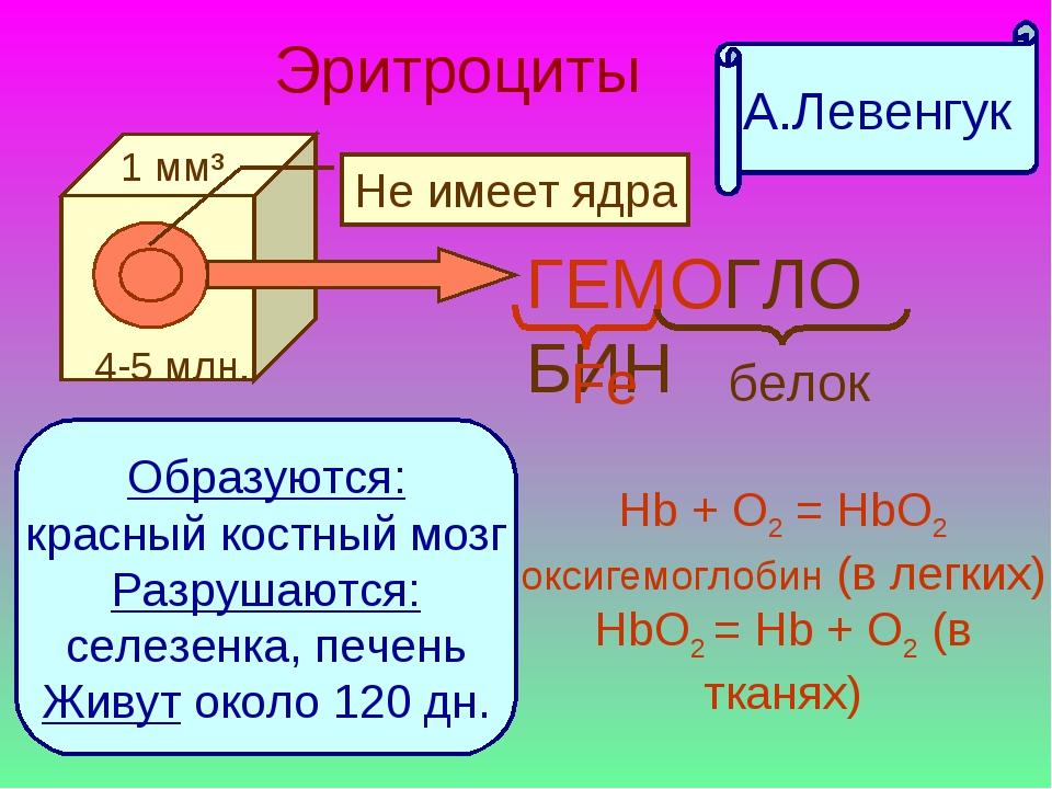 Объясните почему зрелые эритроциты не могут синтезировать белки
