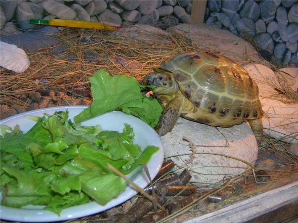 Чем кормить маленькую черепаху красноухую в домашних условиях