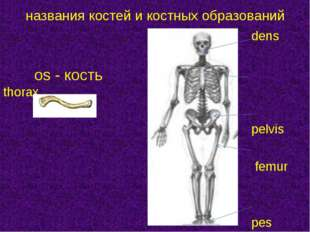 dens os - костьthorax  pelvis  femur