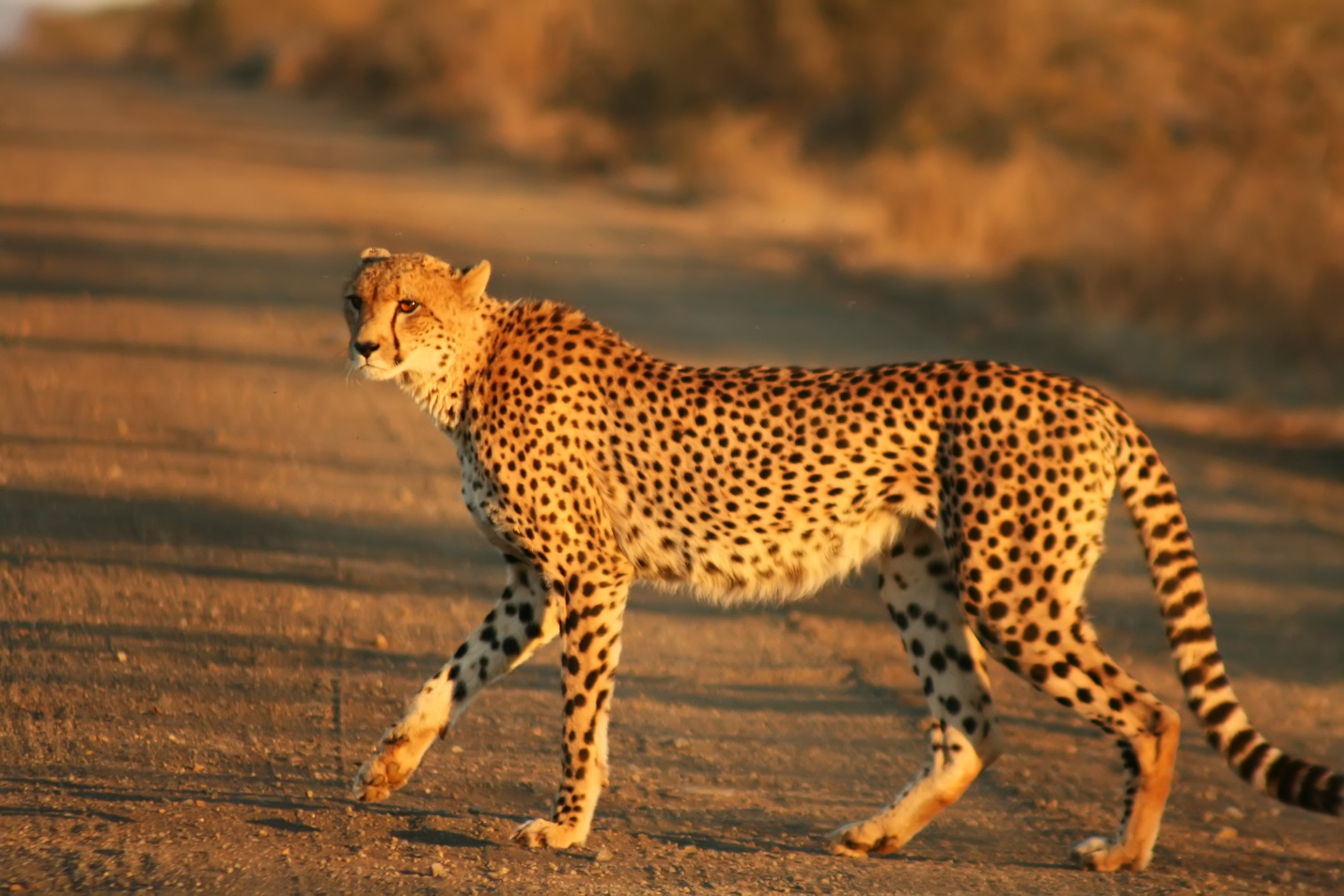C:\Users\лд\AppData\Local\Microsoft\Windows\INetCache\Content.Word\Cheetah_Kruger.jpg