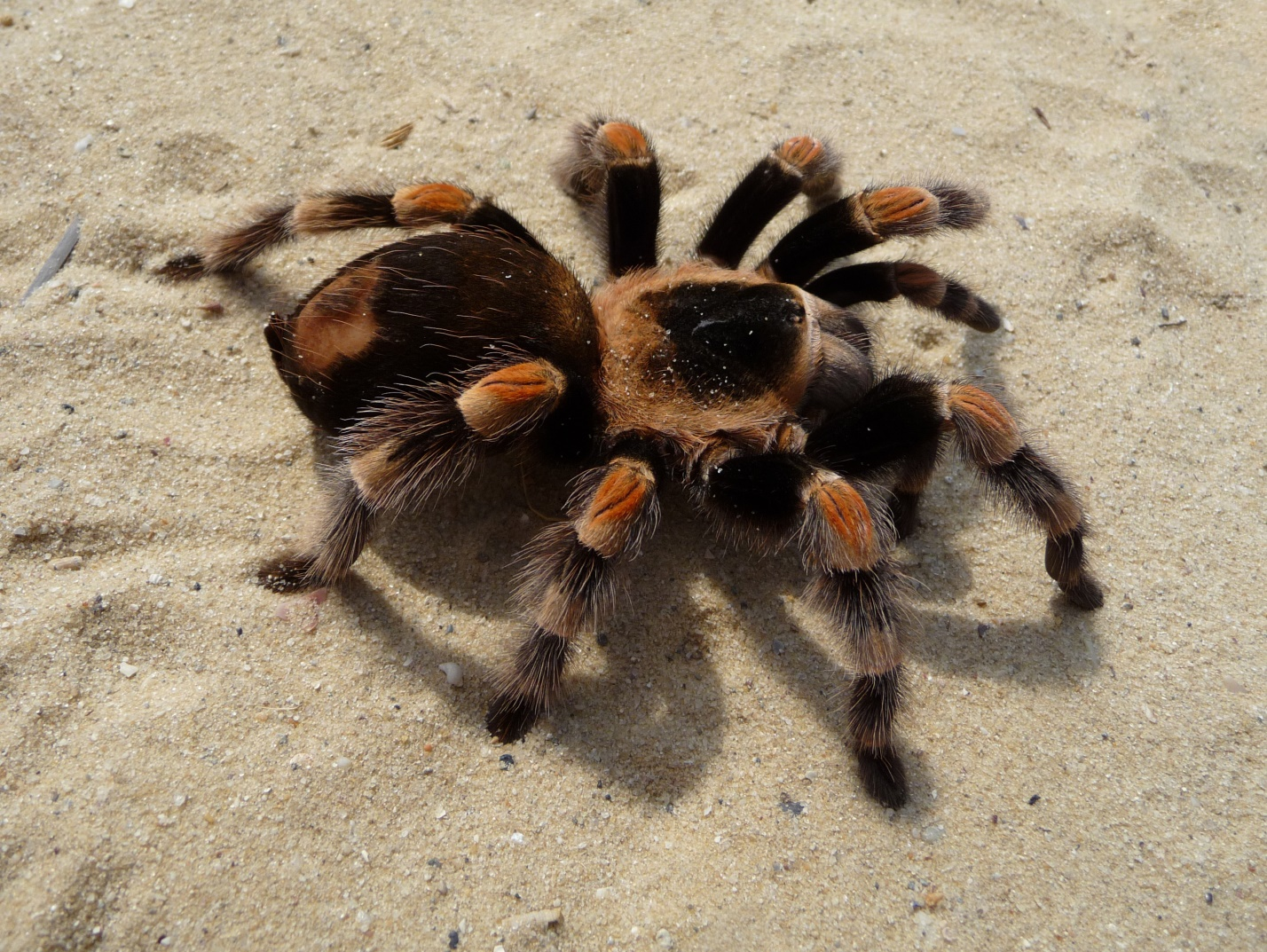 C:\Users\лд\AppData\Local\Microsoft\Windows\INetCache\Content.Word\Brachypelma_smithi_2009_G03.jpg