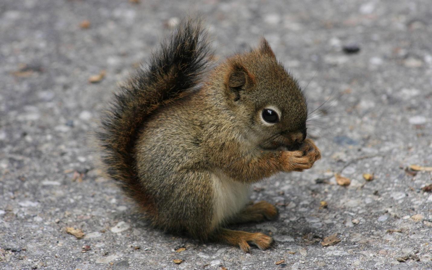C:\Users\лд\AppData\Local\Microsoft\Windows\INetCache\Content.Word\squirrel-04.jpg