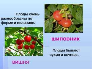 Плоды очень разнообразны по форме и величине. Плоды бывают сухие и сочные .