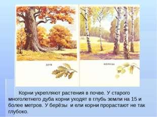 Корни укрепляют растения в почве. У старого многолетнего дуба корни уходят в