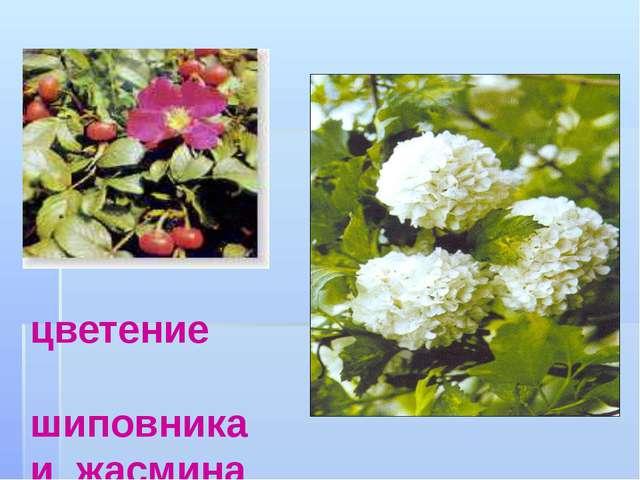цветение шиповника и жасмина