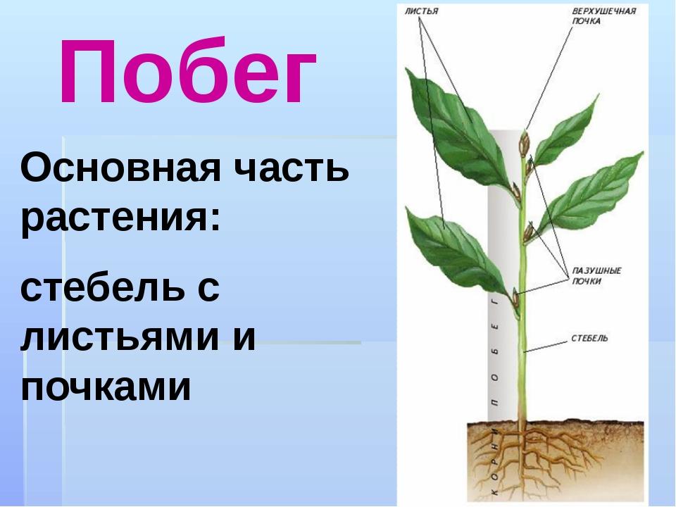 Побег Основная часть растения: стебель с листьями и почками
