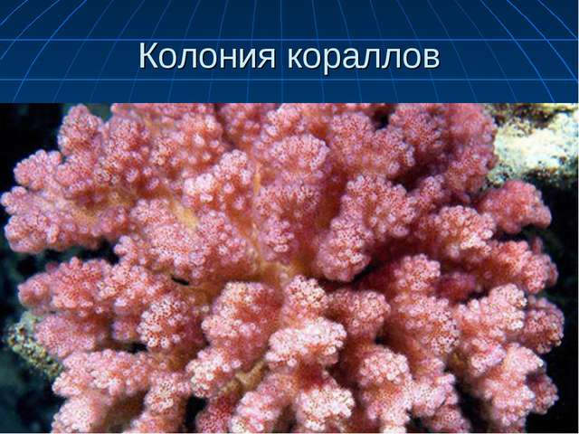 Колония кораллов