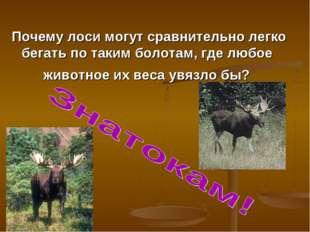 Почему лоси могут сравнительно легко бегать по таким болотам, где любое живот