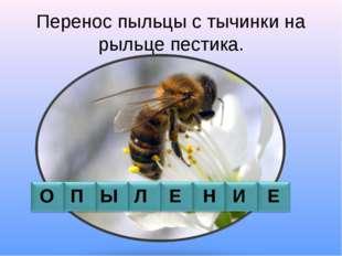 Перенос пыльцы с тычинки на рыльце пестика. О П Ы Л Е Н И Е