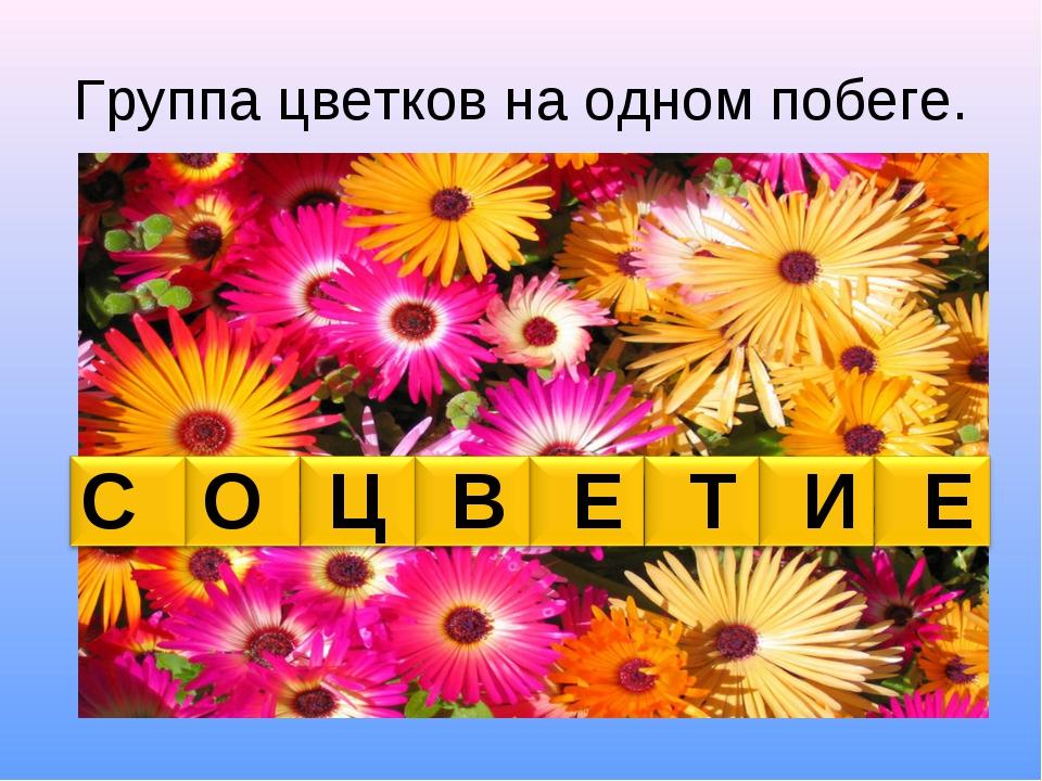 Группа цветков на одном побеге. С О Ц В Е Т И Е