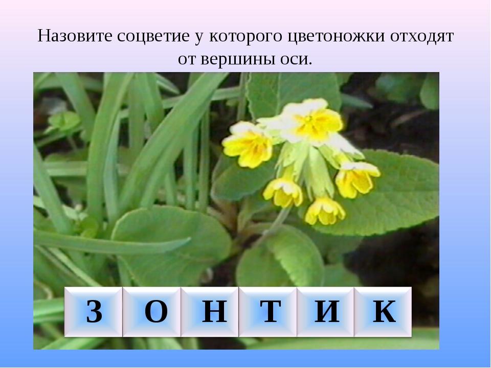 Назовите соцветие у которого цветоножки отходят от вершины оси. З О Н Т И К