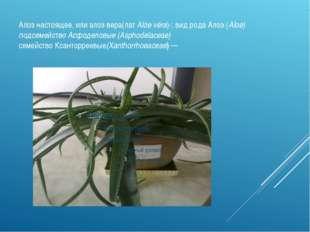Алоэ настоящее, или алоэ вера(лат Alóe véra)-; вид рода Алоэ (Aloe) подсемейс