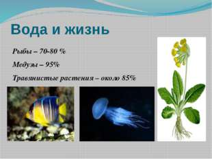 Вода и жизнь Рыбы – 70-80 % Медузы – 95% Травянистые растения – около 85%