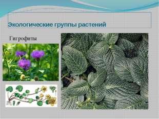Экологические группы растений Гигрофиты