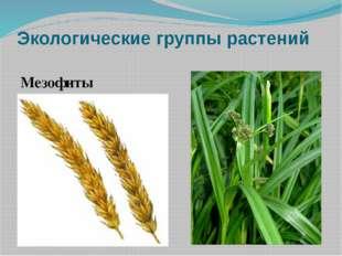 Экологические группы растений Мезофиты