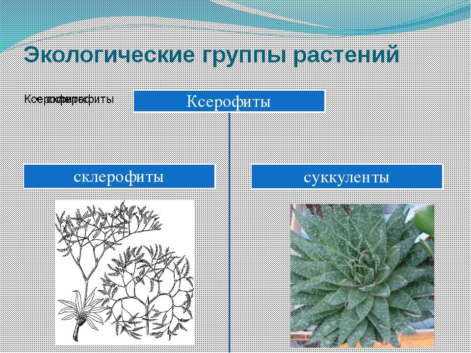 Экологические группы растений