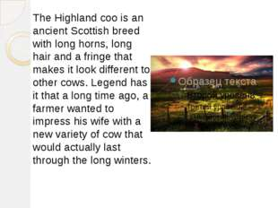 The Highland coo is an ancient Scottish breed with long horns, long hair and