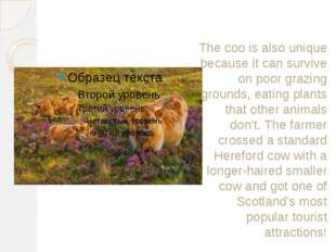 The coo is also unique because it can survive on poor grazing grounds, eating