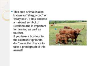 "This cute animal is also known as ""shaggy coo"" or ""hairy coo"". It has become"