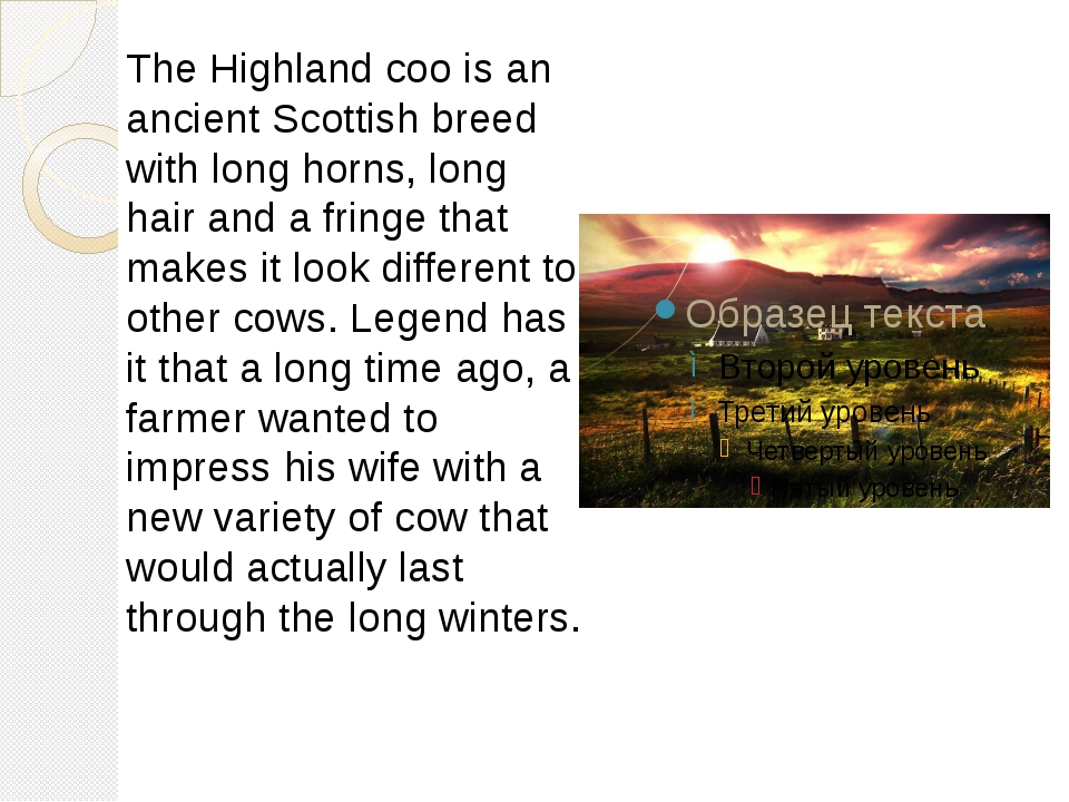 The Highland coo is an ancient Scottish breed with long horns, long hair and...