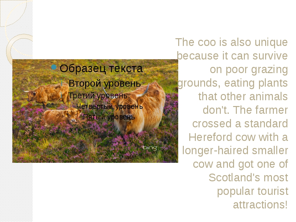 The coo is also unique because it can survive on poor grazing grounds, eating...