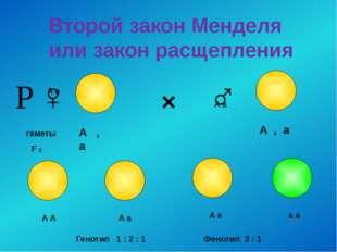 Второй закон Менделя или закон расщепления × ♀ ♂ гаметы А а А а F 2 А , а А ,
