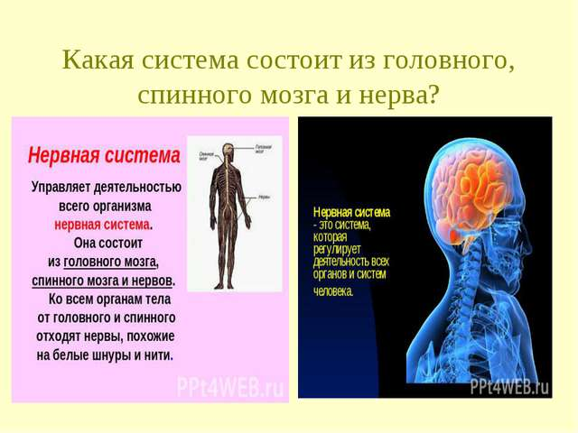 Какая система состоит из головного, спинного мозга и нерва?
