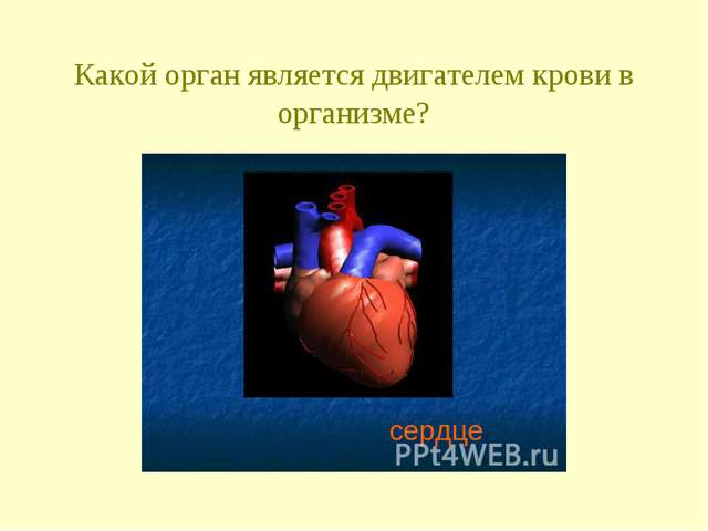 Какой орган является двигателем крови в организме?