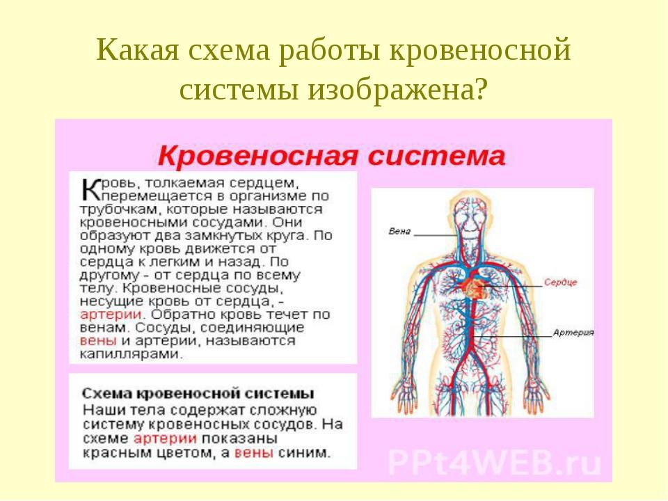 Какая схема работы кровеносной системы изображена?