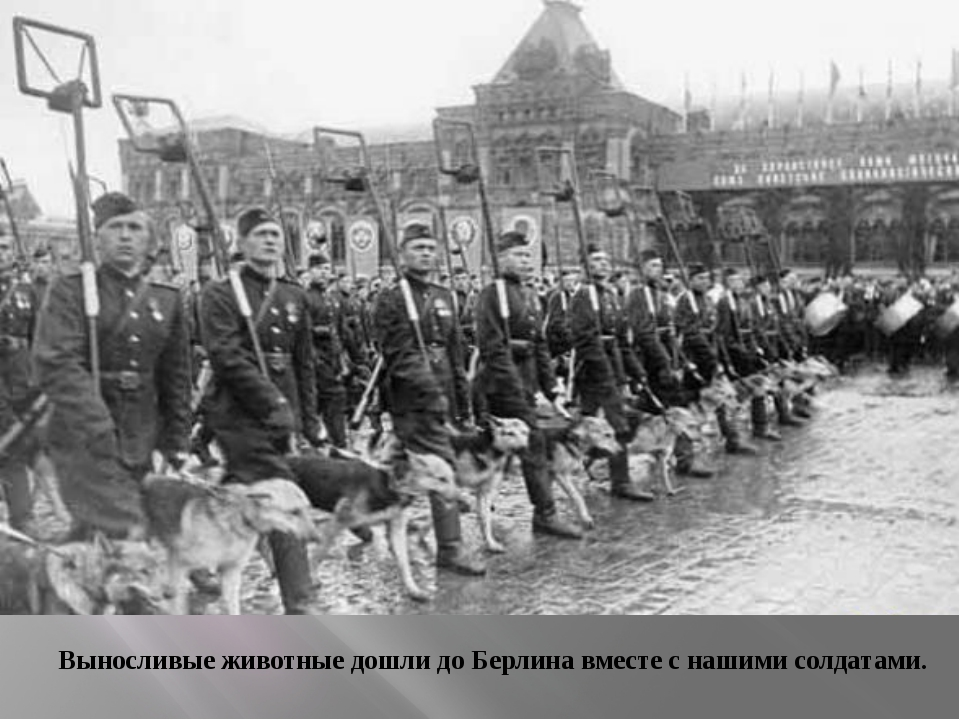 Выносливые животные дошли до Берлина вместе с нашими солдатами.