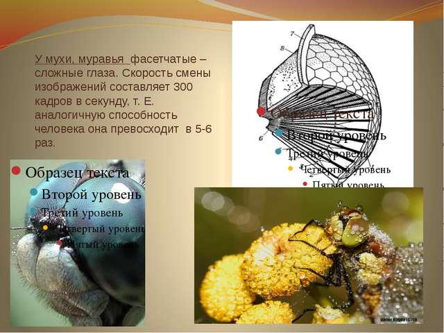 У мухи, муравья фасетчатые – сложные глаза. Скорость смены изображений состав...