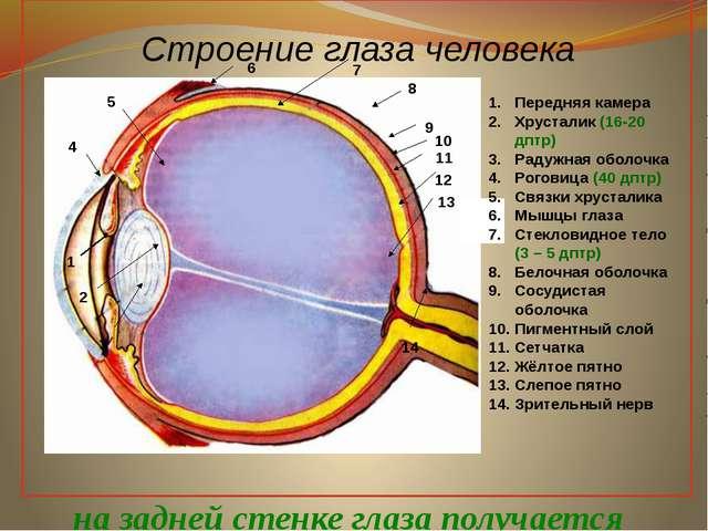Строение глаза человека 1 2 3 4 5 6 7 8 9 10 11 12 13 14 Передняя камера Хру...