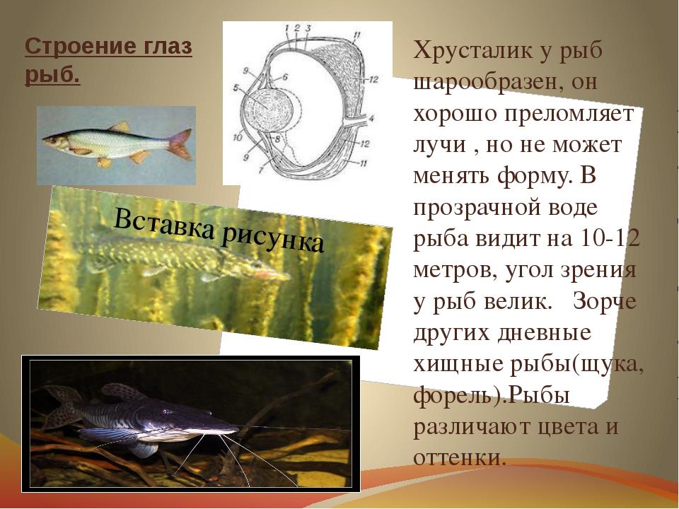 Строение глаз рыб. Хрусталик у рыб шарообразен, он хорошо преломляет лучи , н...