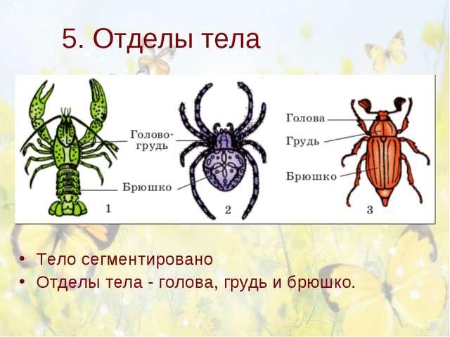 5. Отделы тела Тело сегментировано Отделы тела - голова, грудь и брюшко.