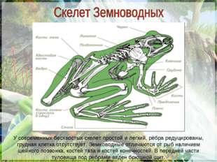 У современных бесхвостых скелет простой и легкий, рёбра редуцированы, грудная