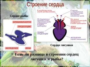 Есть ли разница в строении сердец лягушки и рыбы? Сердце рыбы Сердце лягушки