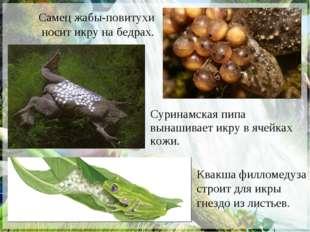 Самец жабы-повитухи носит икру на бедрах. Квакша филломедуза строит для икры
