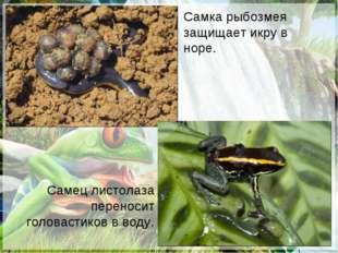 Самец листолаза переносит головастиков в воду. Самка рыбозмея защищает икру в