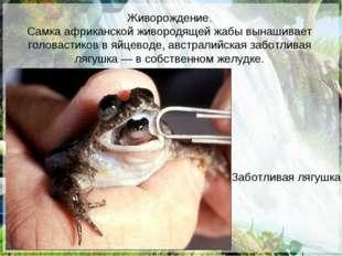 Живорождение. Самка африканской живородящей жабы вынашивает головастиков в яй