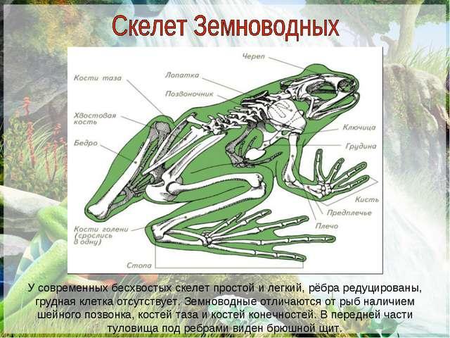 У современных бесхвостых скелет простой и легкий, рёбра редуцированы, грудная...