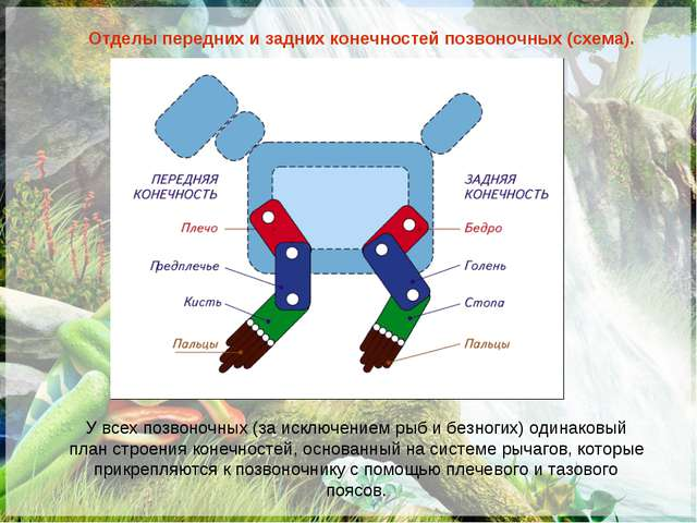 Отделы передних и задних конечностей позвоночных (схема). У всех позвоночных...