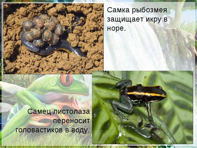 Самец листолаза переносит головастиков в воду. Самка рыбозмея защищает икру в...