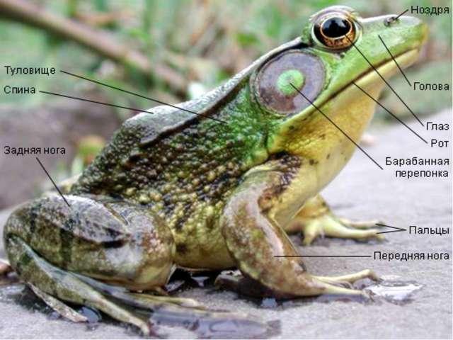 Внешнее строение лягушки: рисунок