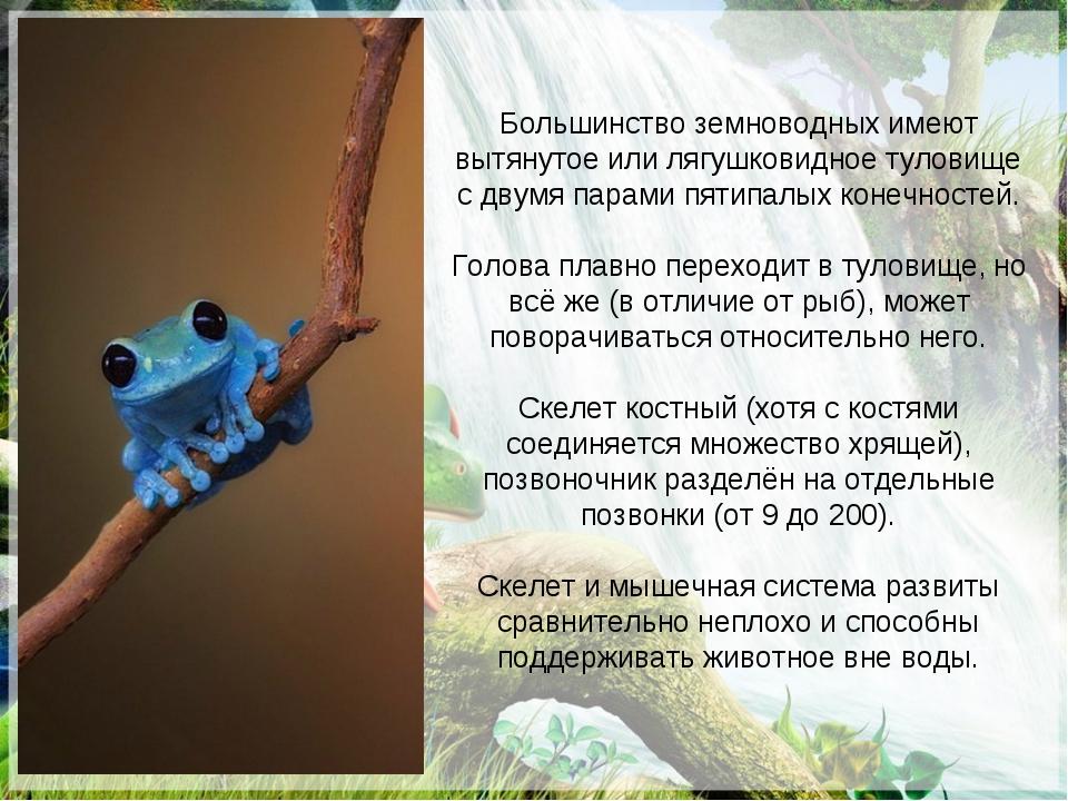 Большинство земноводных имеют вытянутое или лягушковидное туловище с двумя па...