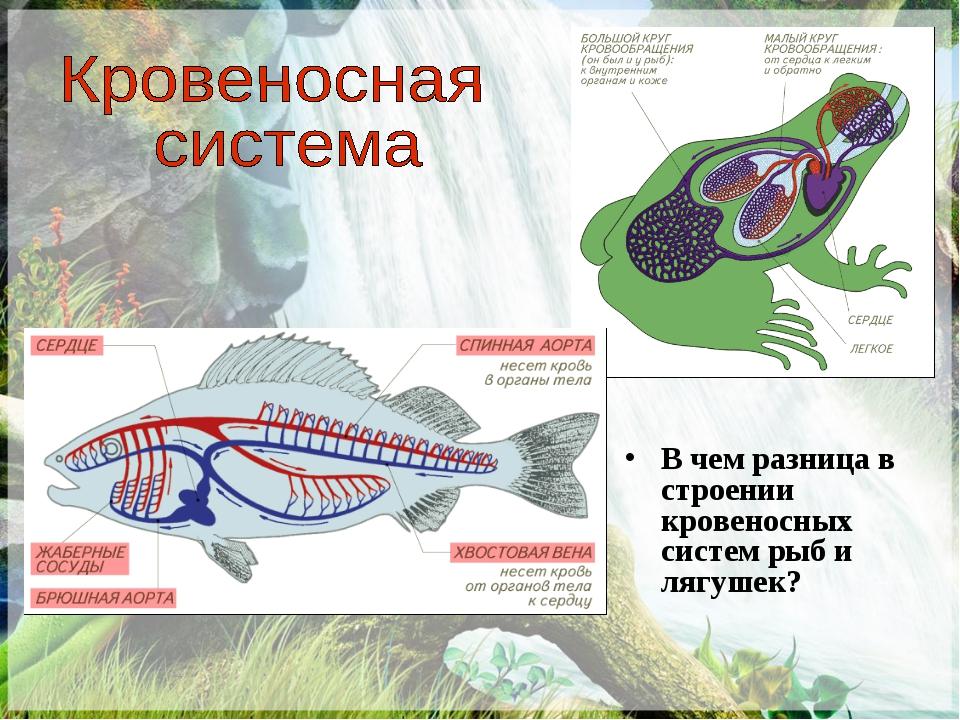 В чем разница в строении кровеносных систем рыб и лягушек?