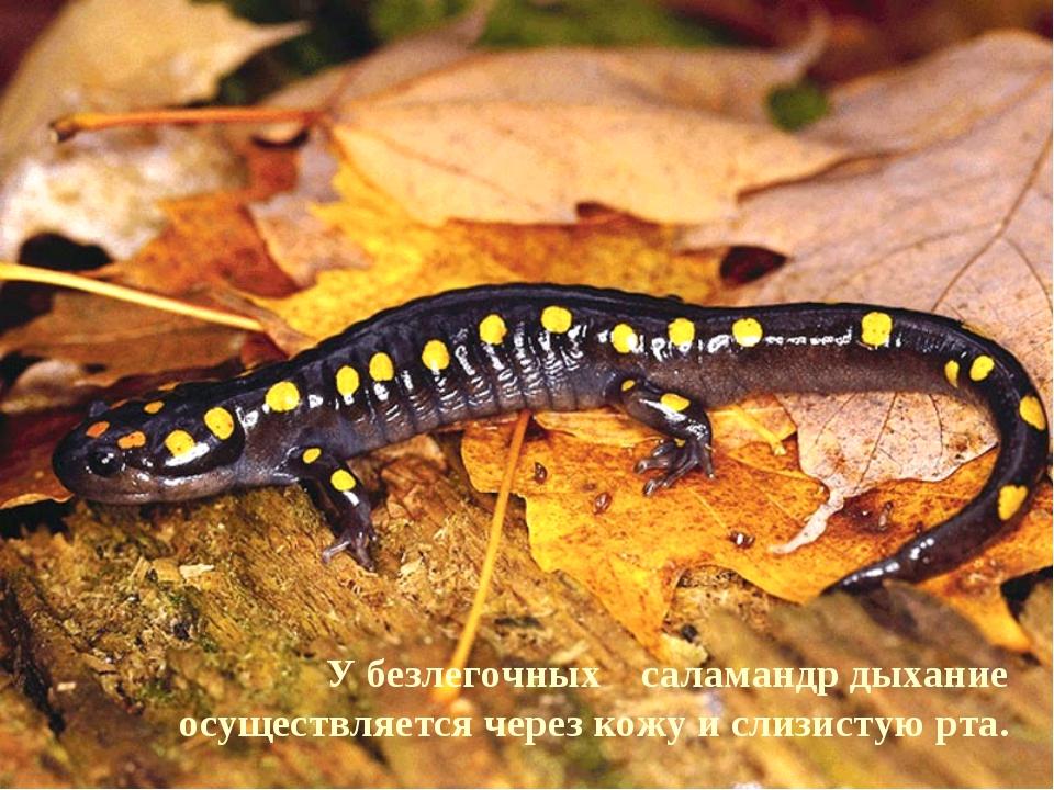 У безлегочных саламандр дыхание осуществляется через кожу и слизистую рта.
