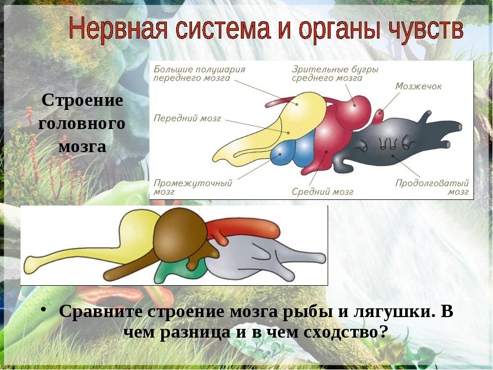 Строение головного мозга Сравните строение мозга рыбы и лягушки. В чем разниц...