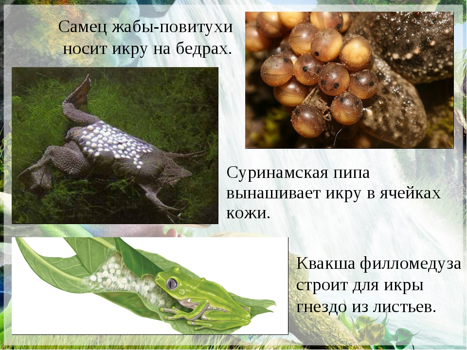 Самец жабы-повитухи носит икру на бедрах. Квакша филломедуза строит для икры...