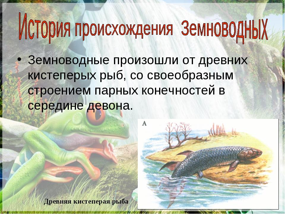 Земноводные произошли от древних кистеперых рыб, со своеобразным строением па...